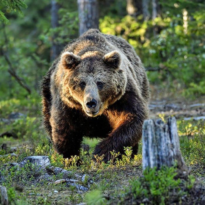 Bear Spray Usage Tips | Yellowstone National Park